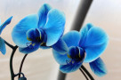 Blue-Orchid-Meaning