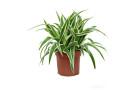 chlorophytum-ikona