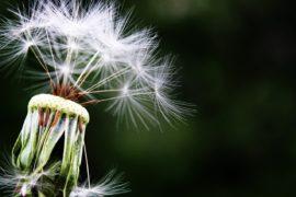 dandelion-1452219_1280