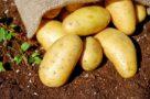 potatoes-1585075_1280