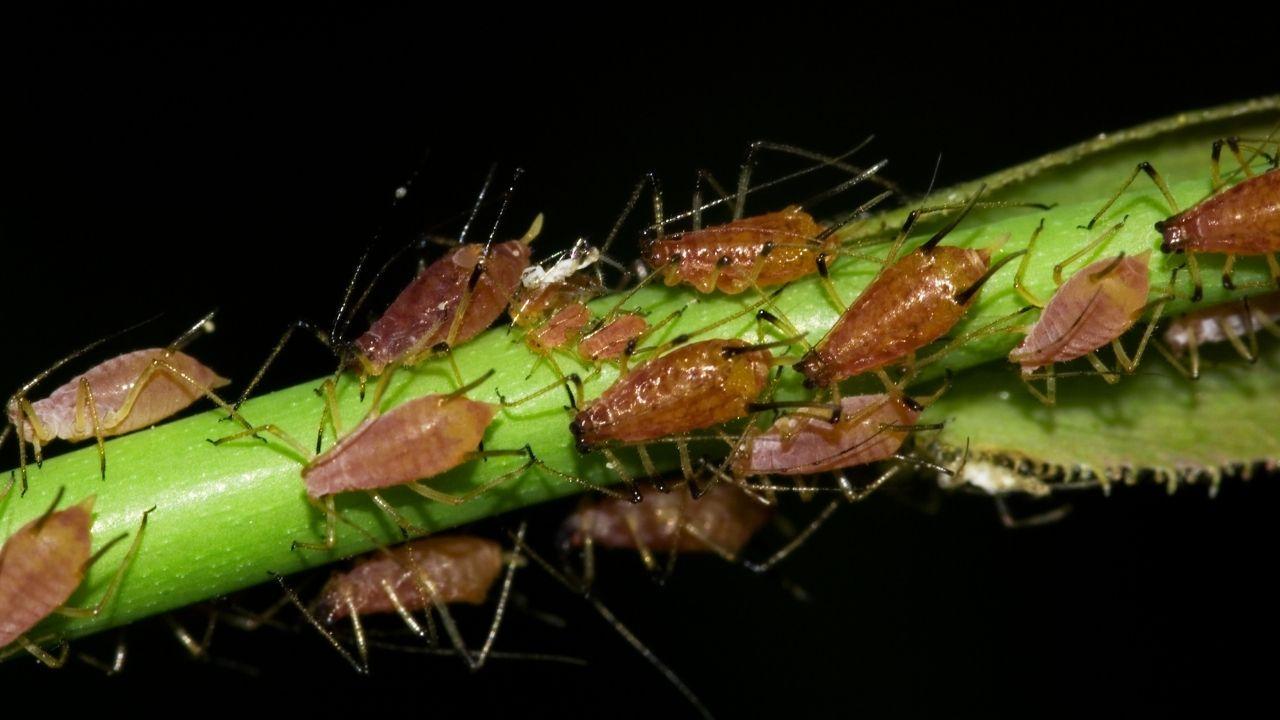 mszyce na zielonej gałązce rośliny