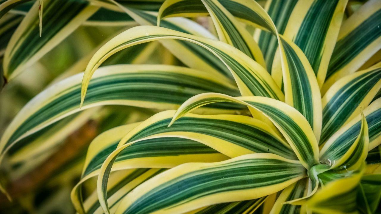 dracena z zielonymi liśćmi o żółtych przebarwieniach