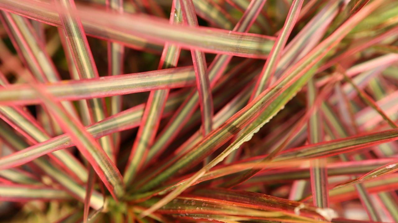 dracena obrzeżona z podgatunku czerwonych przebarwień na liściach