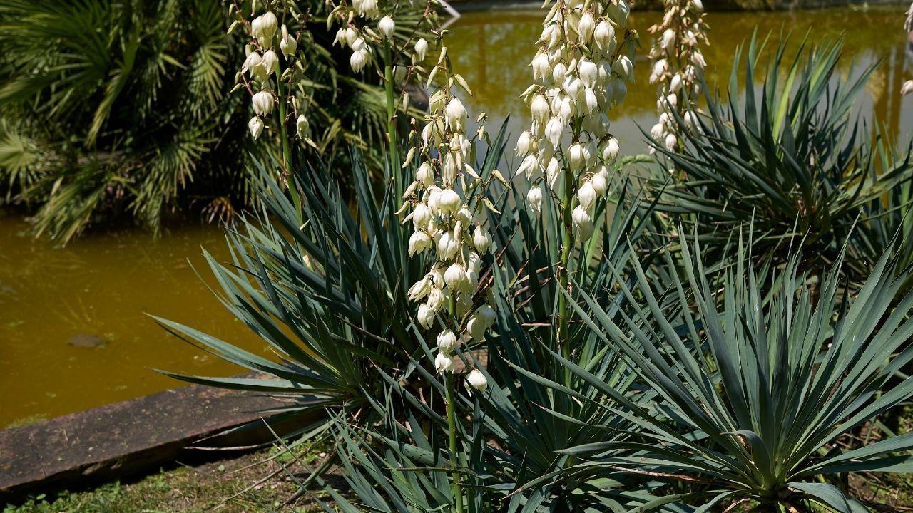 juka ogrodowa z białymi kwiatostanami