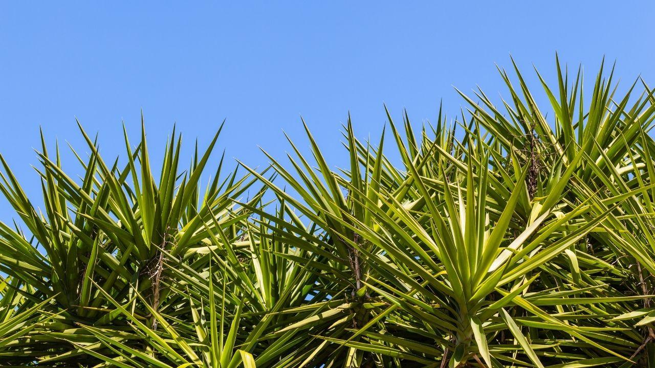 liście juki ogrodowej na niebieskim niebie