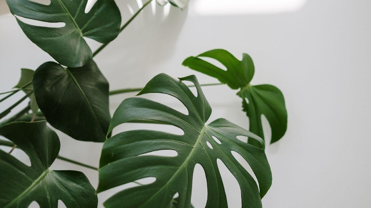 kilkuletnia monstera z dużymi dziurami w zielonych liściach