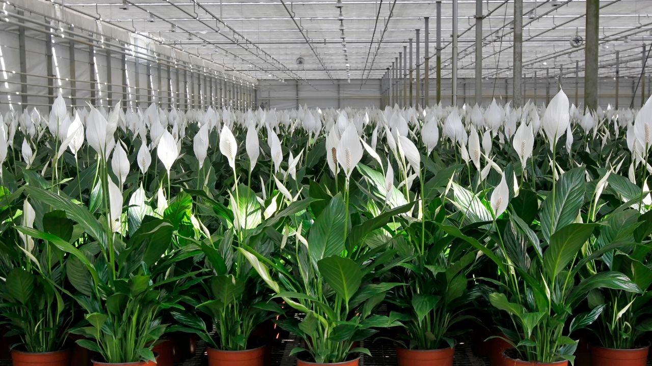 skrzydłokwiaty ustawione w doniczkach na dużej hali