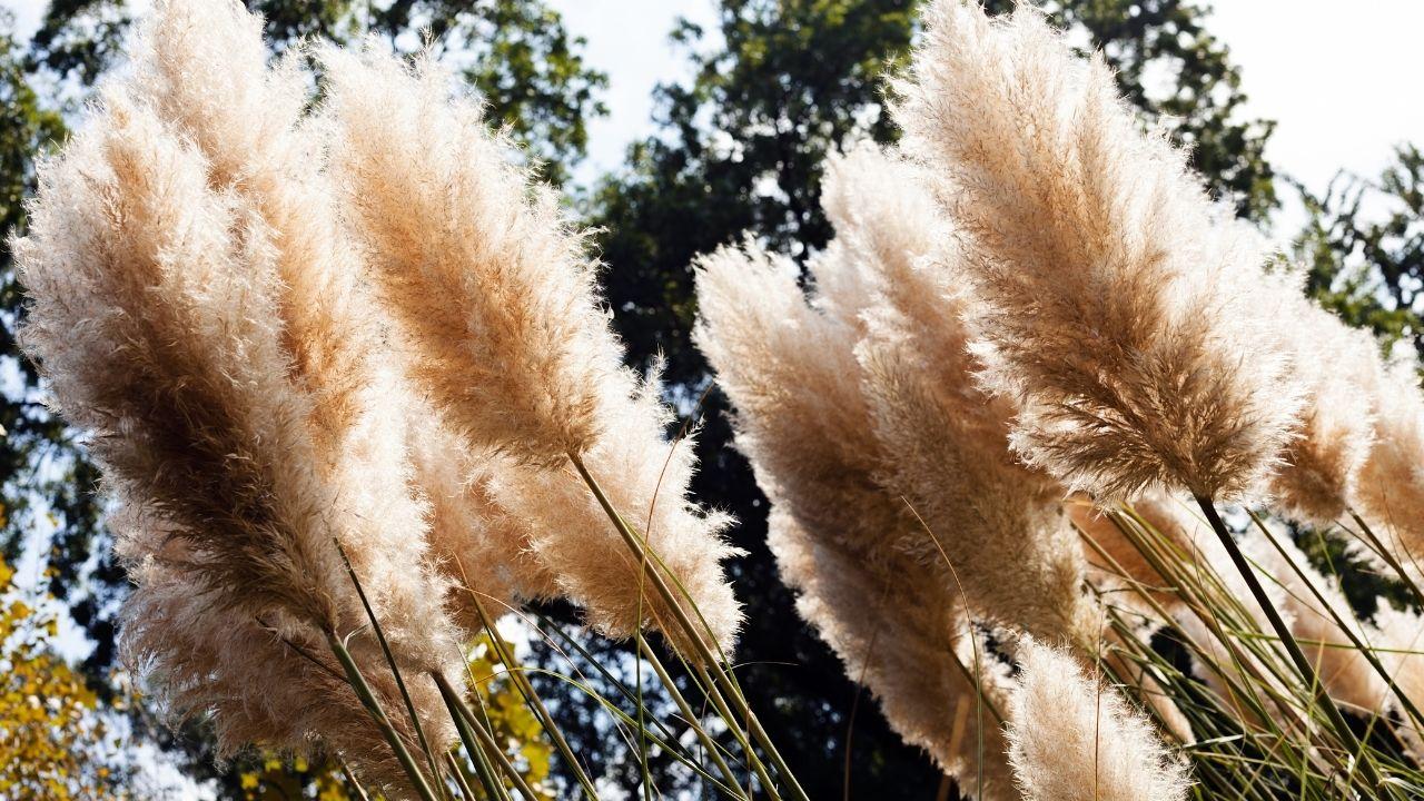 Trawa pampasowa w zbliżeniu na tle drzew i nieba