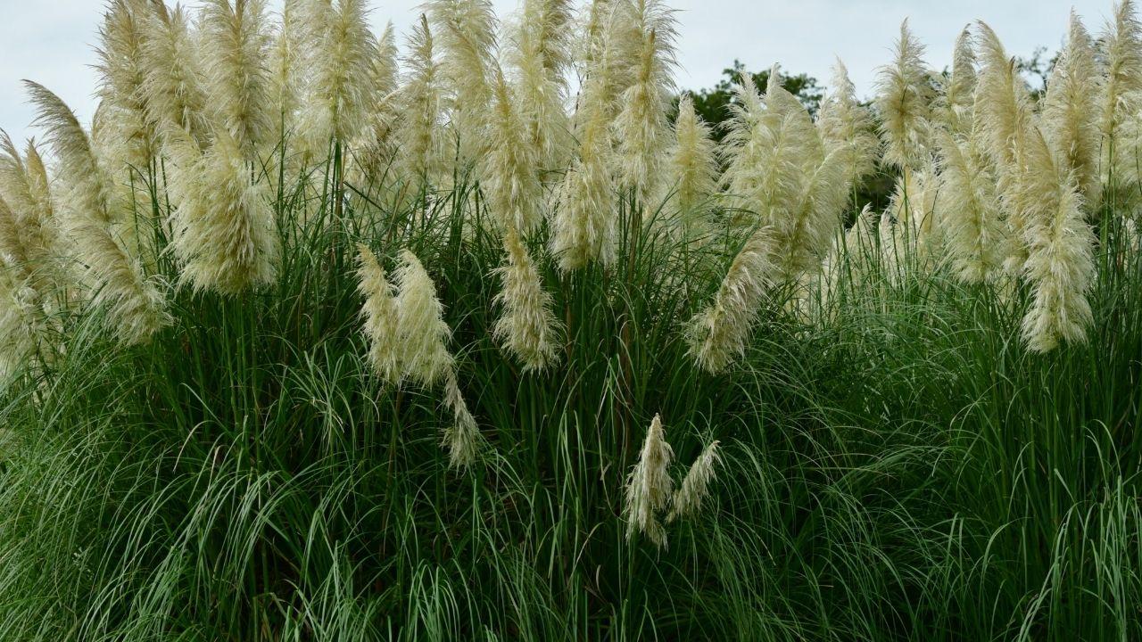 dziko rosnąco trawa pampasowa