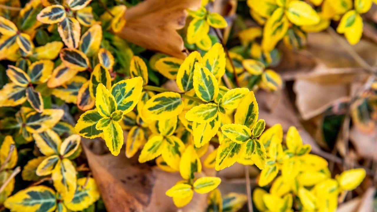 żółta roślina o małych listkach znajdująca się między brązowymi liśćmi na ziemi