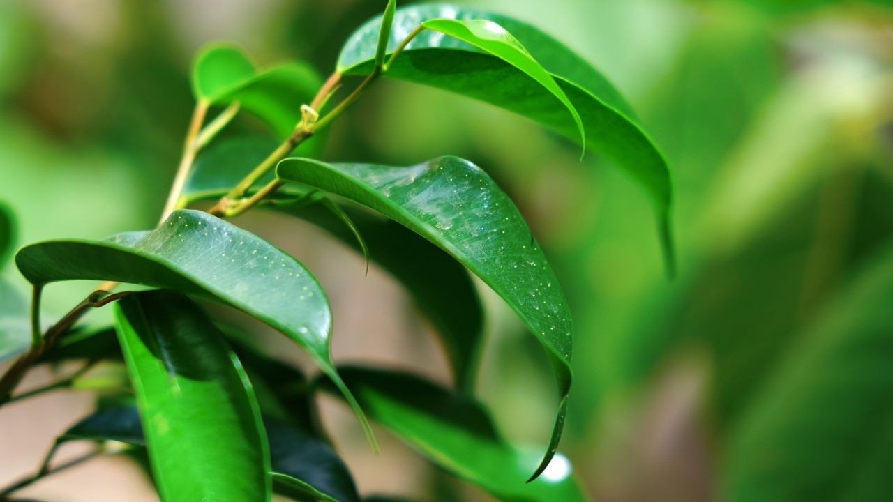 zbliżenie na zielone liście fikusa banjamina zroszone wodą