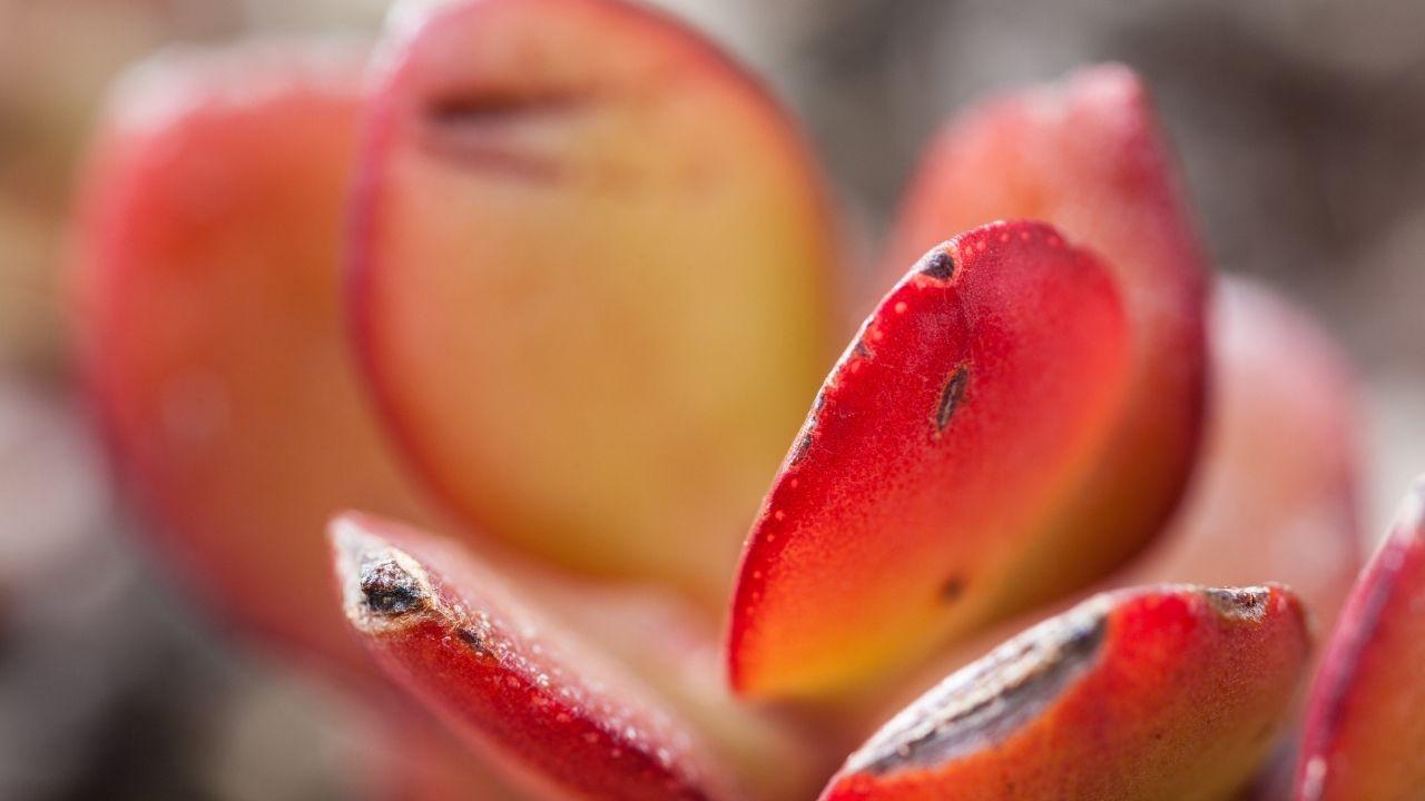 odmiana grubosza jajowatego z czerwonym zabarwieniem liści