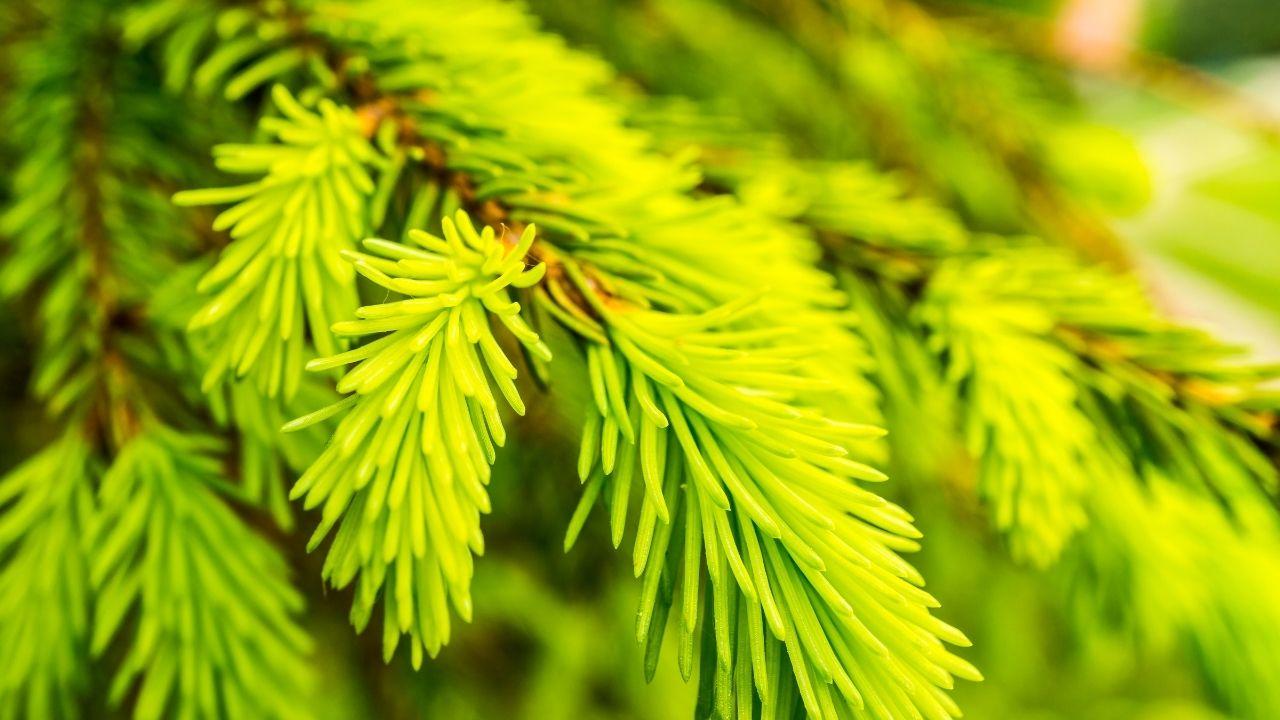 odmiana świerka serbskiego z igłami o kolorze jasno zielonym
