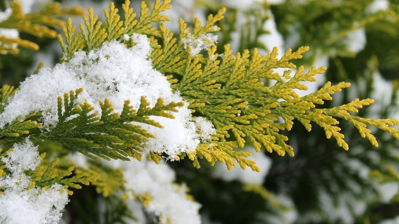 tuja ogrodowa w czasie zimy z zalegającym śniegiem na gałązkach