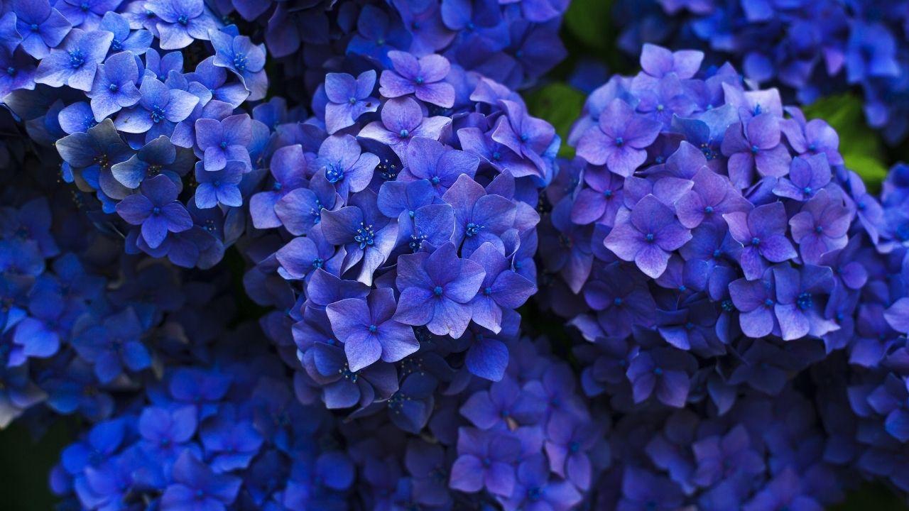 niebieskie kwiaty hortensji bukietowej z bliska