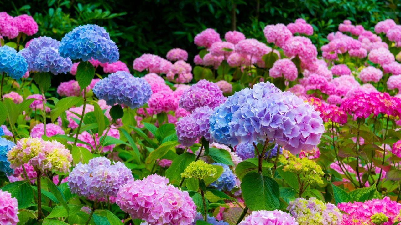 kolorowe kwiaty hortensji w ogrodzie