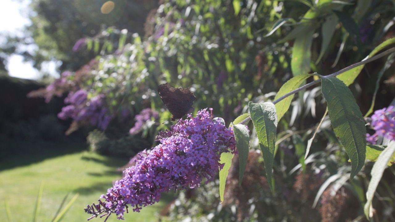 fioletowa budleja rosnąca w ogrodzie