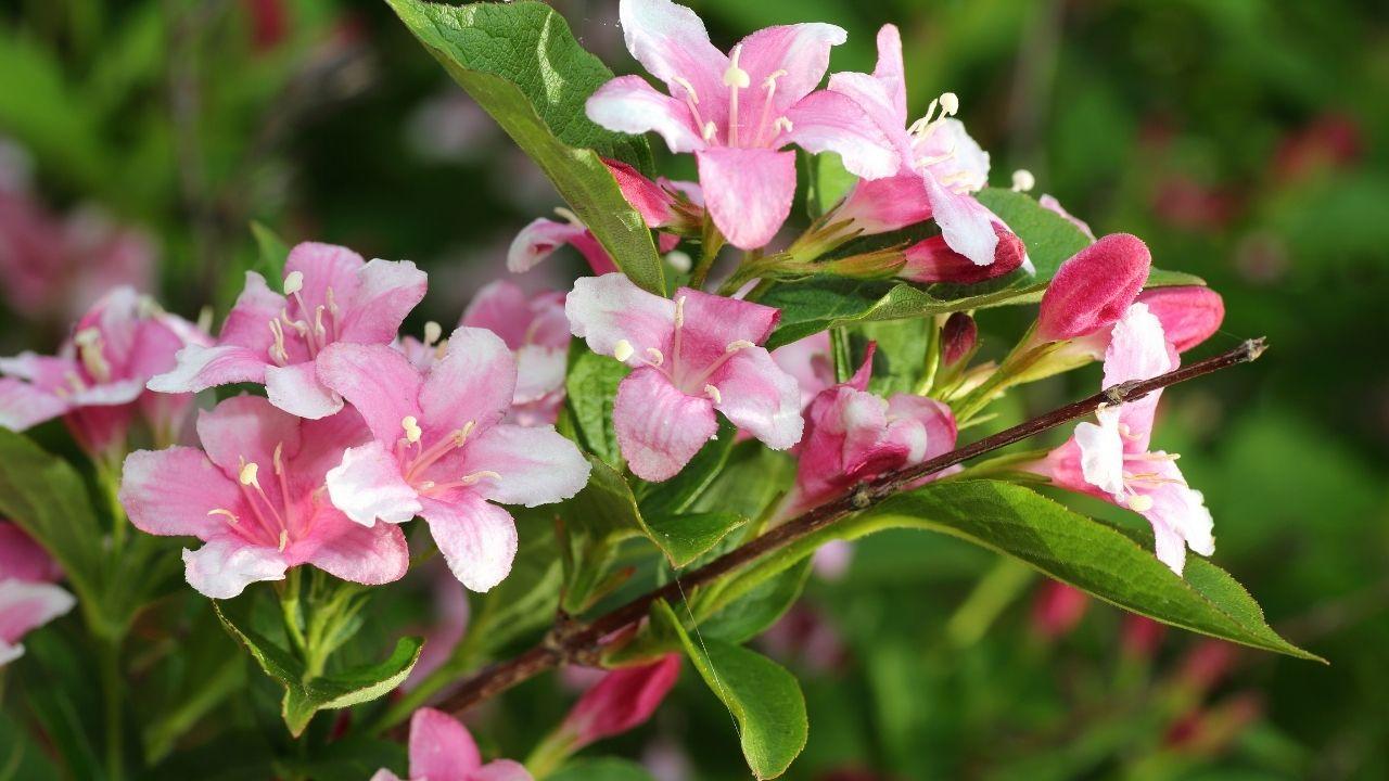 krzewuszka z różowymi kwiatami