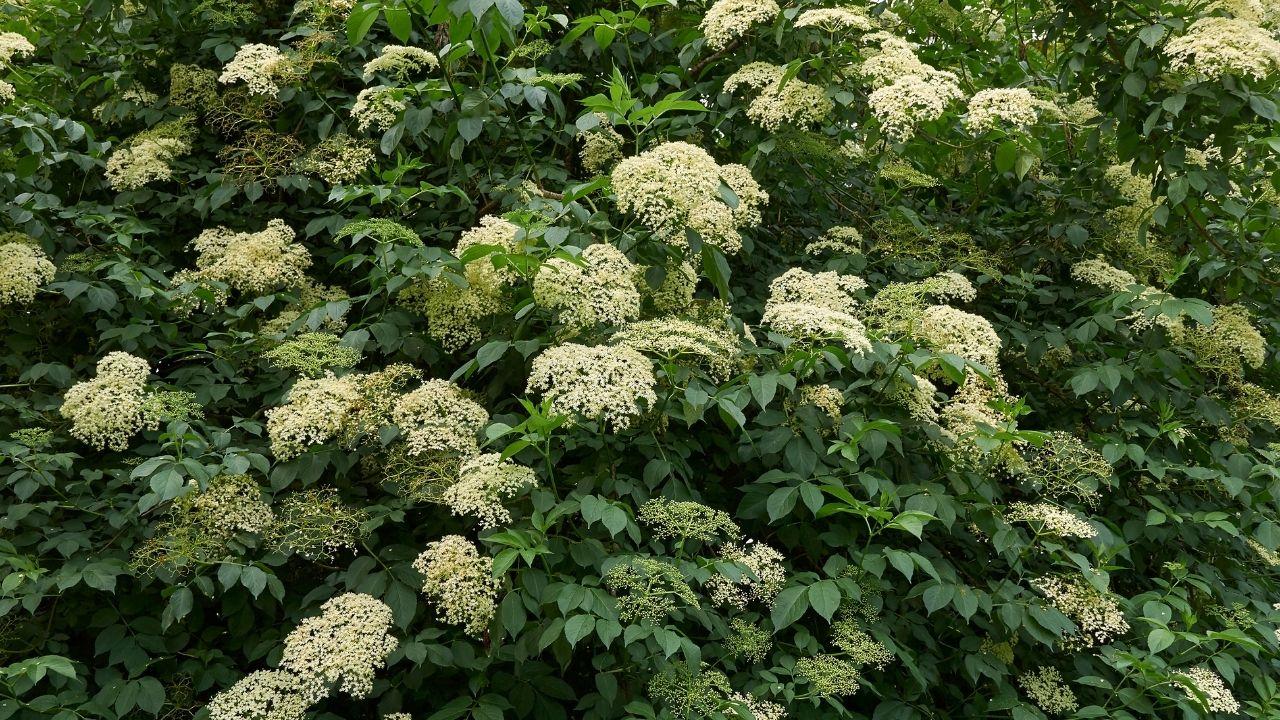 białe kwiaty czarnego bzu