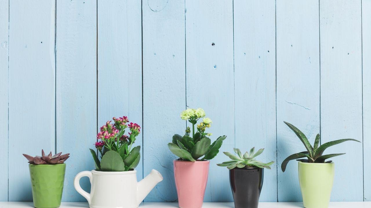 rośliny gruboszowate w kolorowych doniczkach na niebieskim tle