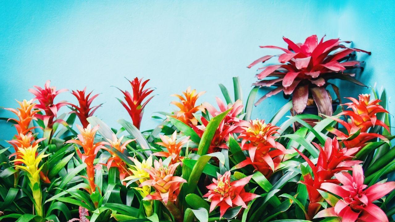 roślina bromelia w różnych koloroach
