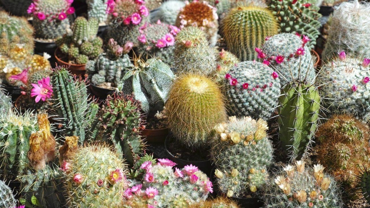 różne odmiany kaktusów