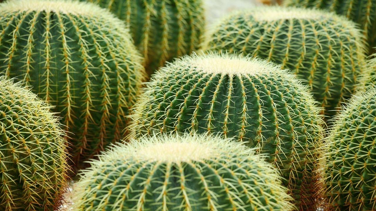 duże kaktusy w kształcie kul