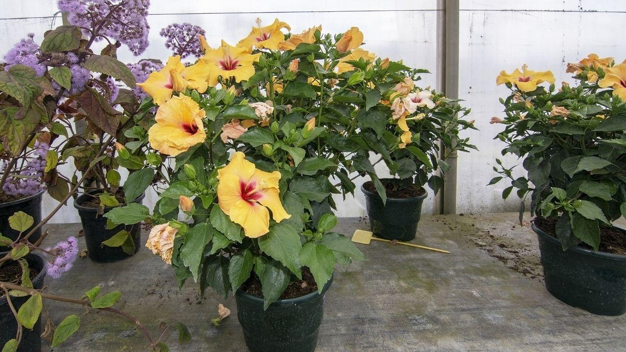 róża chińska z żółtymi kwiatami uprawiana w doniczce