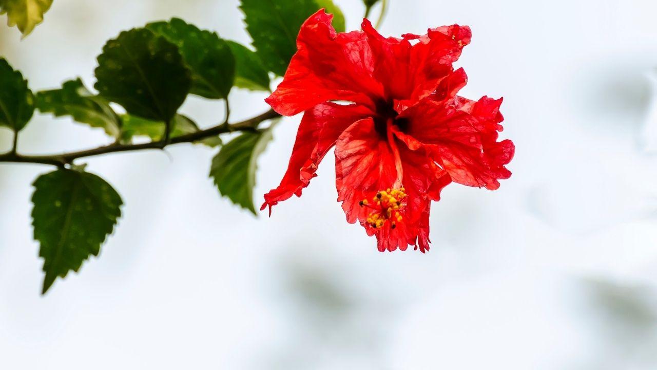 czerwony kwiat róży chińskiej