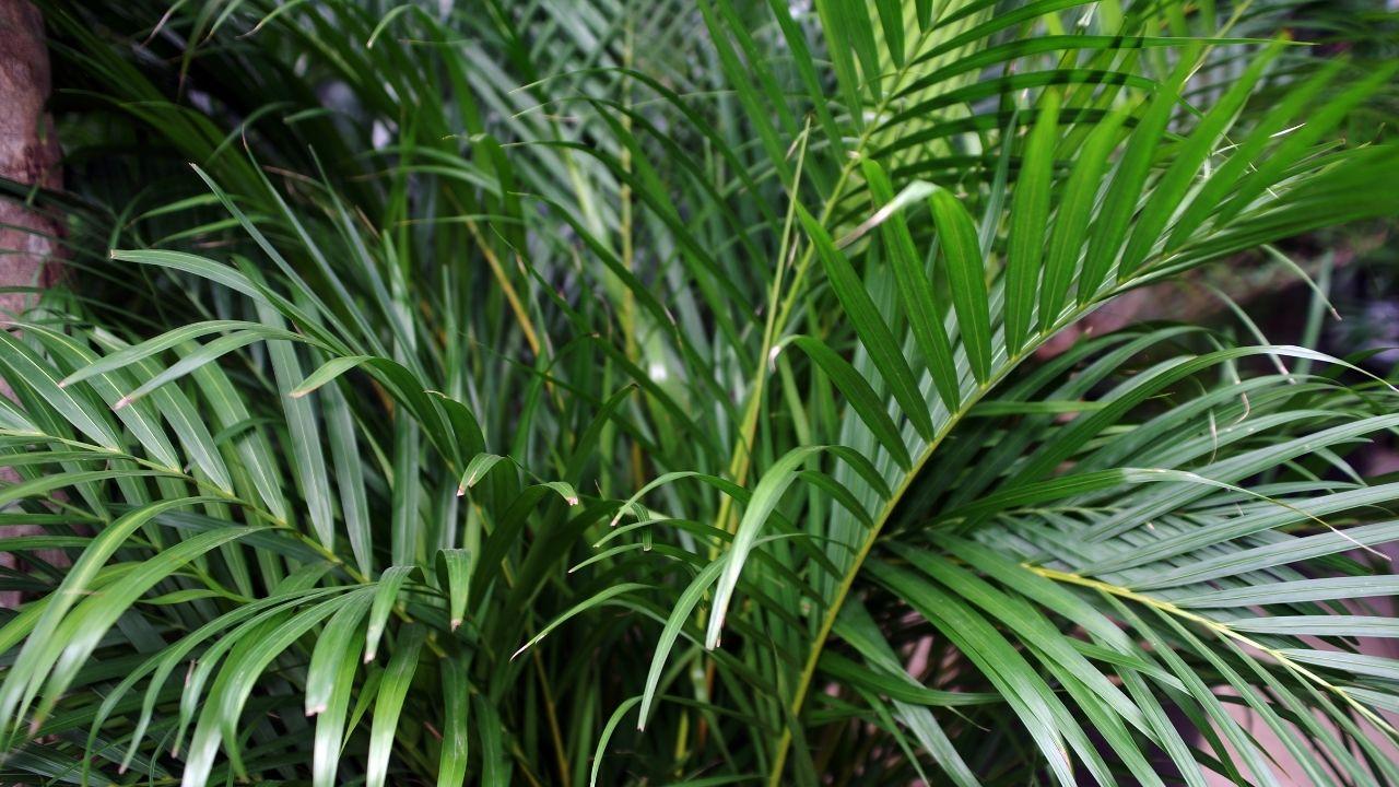 duże liście palmy areki