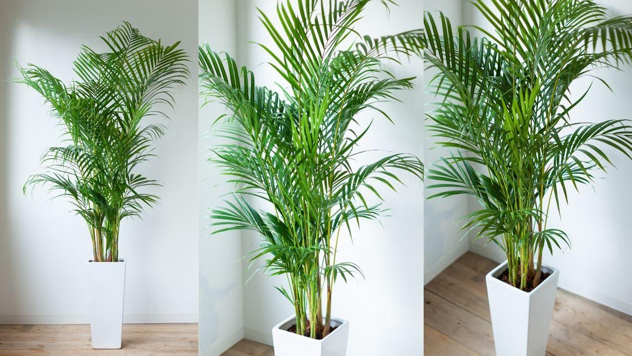 palma areka w białej wysokiej donicy